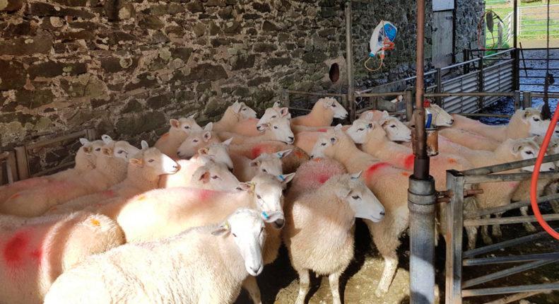 Откорм овец в стойле