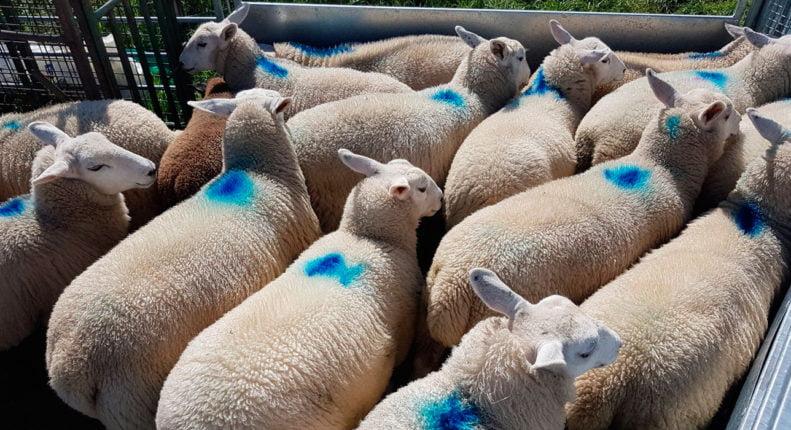 Мясная порода овец