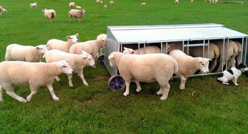 Откорм овец на мясо