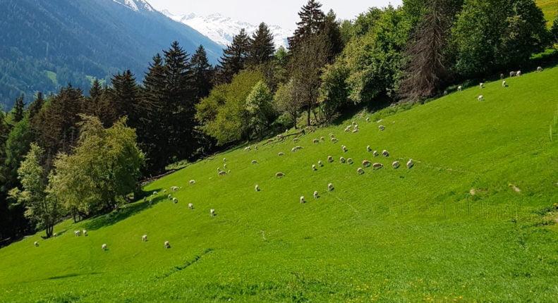 Горный луг с пасущимися овцами