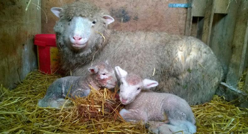 Корм для маток овец