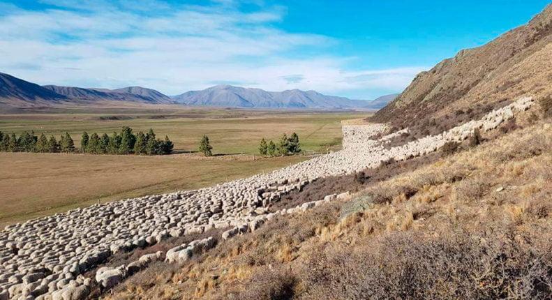 Большая отара овец