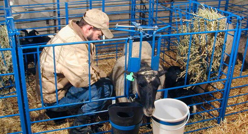 Принять роды у овцы