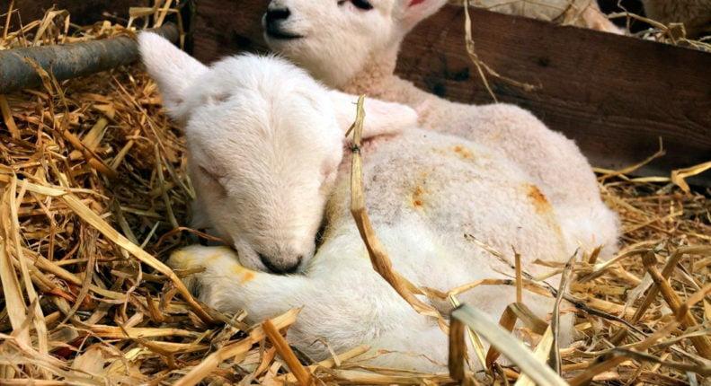 Помощь новорожденному ягненку