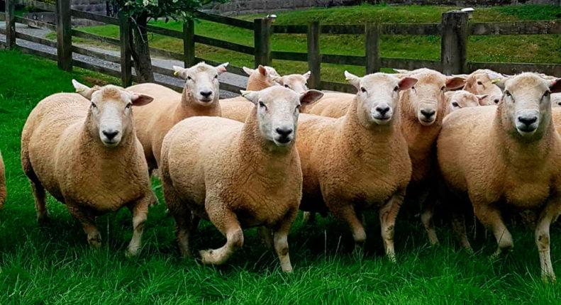 Подготовка стада овец к случке