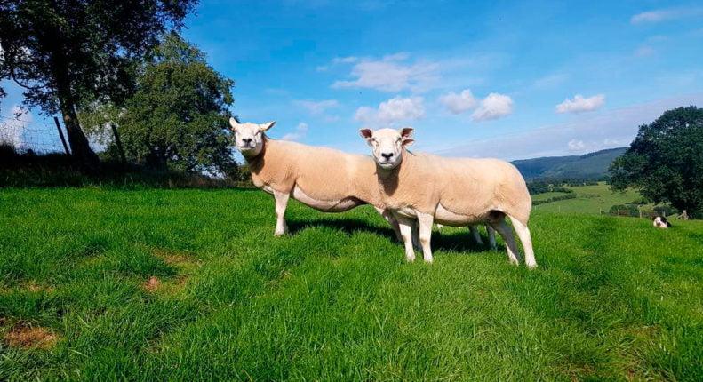 Селекция в овцеводстве